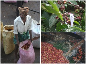 Coffee berries - picked, weighed and washed.